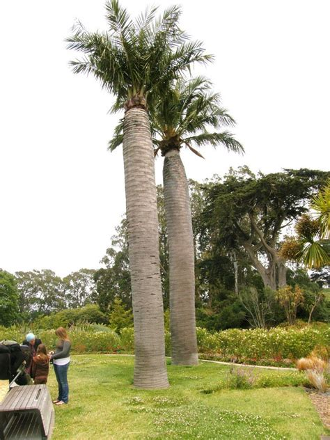 total wine palm gardens plantfiles pictures chilean wine palm coquito de chile