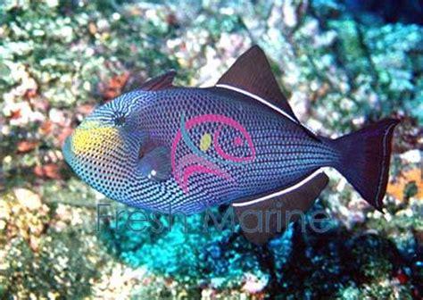 freshmarinecom hawaiian black trigger fish melichthys