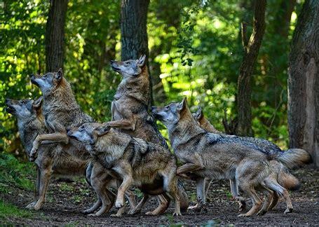 Wolfcenter Dörverden Baumhaus by Aprilscherz Oder Doch Nicht