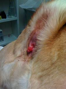 Causes, Symptoms and Treatments for Dog Hemorrhoids ...