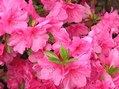 how to care for potted azaleas flower pressflower press