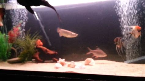 red tail catfish  oscars tank mates youtube
