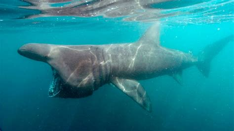 basking shark pictures diet breeding facts habitat