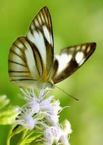 Butterfly with Yellow and Black Stripes