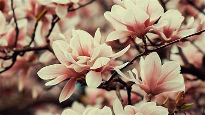 Flowers Magnolia Branches Spring Plant 4k Flowering