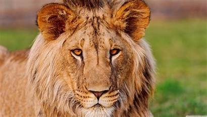 Lion African Slovakia Living 4k Wallpapers Ultra