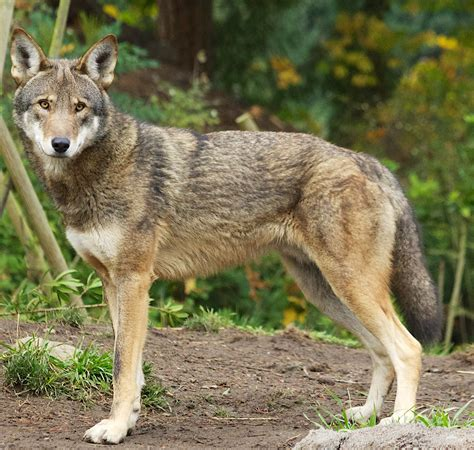 red wolf advocates  agency inaction   extinction