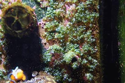 Algae Reef Bubble Flux Killing Reef2reef Tank