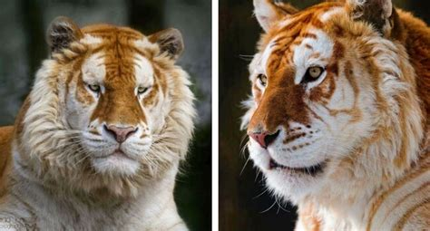 Watch The Rare Golden Tiger Beautiful