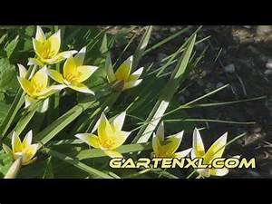 Tulpen Im Garten : wilde tulpen im garten youtube ~ A.2002-acura-tl-radio.info Haus und Dekorationen