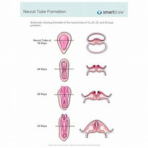 Neural Tube Formation