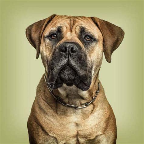 Bullmastiff Shedding by 9 Bullmastiff Temperament Tips You Need To