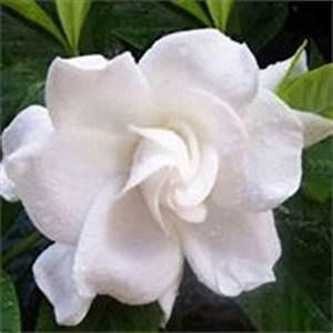 Gardenia Jasminoides Pflege : gardenie gardenia jasminoides zimmerpflanzen ~ A.2002-acura-tl-radio.info Haus und Dekorationen