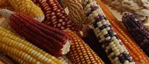The Molecular Maize Atlas Encourages Genetic Diversity