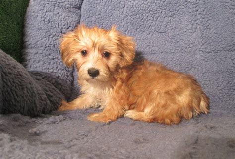 yorkie ton yorkshire terrier  coton de tulear info