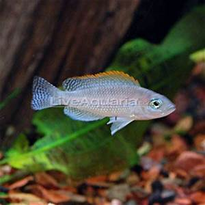 17 Best images about cichlids on Pinterest | Peacocks ...
