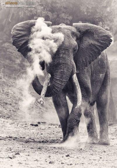 Elephants | Alison Buttigieg Wildlife Photography