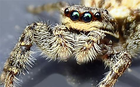 springspinne  den  spinnenaugen der spinne spiegelt