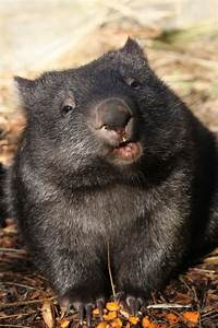 35 best Wombats images on Pinterest | Baby wombat, Animal ...