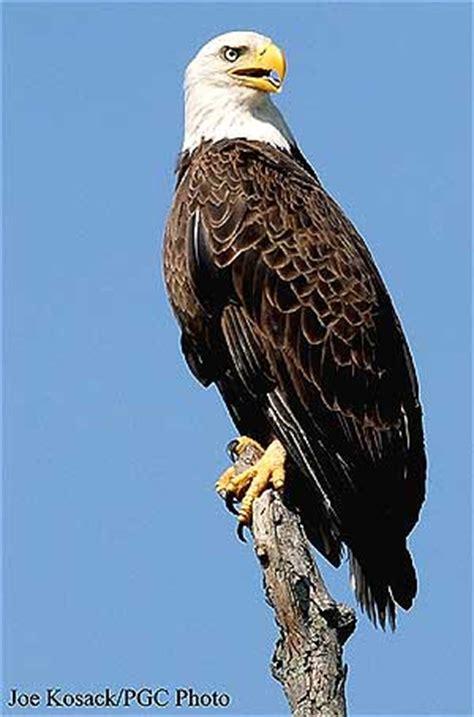bald eagles  nesting   pennsylvania counties