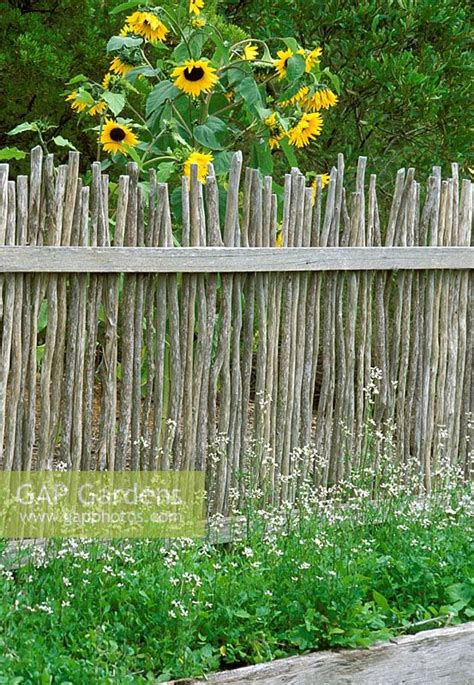 gap gardens rustic wooden fence  sunflowers