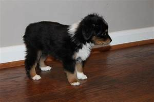 Alangus Aussies – Alangus Mini Aussies: A Dog Blog
