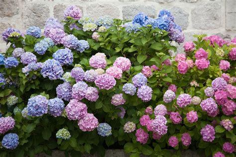 Garten Winterfest Machen Hortensien by Hortensien Pflege D 252 Ngen Gie 223 En St 252 Tzen Plantura