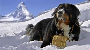 animals, Dog, Snow, Bernese Mountain Dog, Sennenhund ...