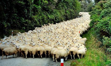 Neparasts sastrēgums: aitu bars nobloķē ceļu kilometra ...