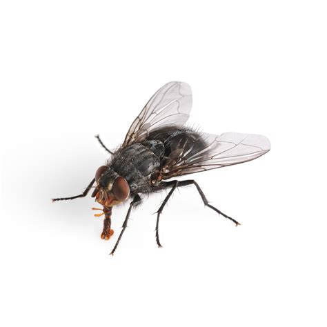 The Common House Fly King Of Disgusting Debugged