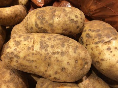 pomme de terre en chambre maladies et parasites de la pomme de terre symptômes