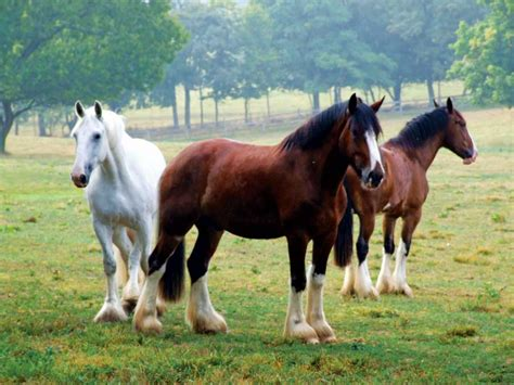 horse breeds american horses shire history breed rare knights magazine america grit oldest armored pound carried fully once battle into