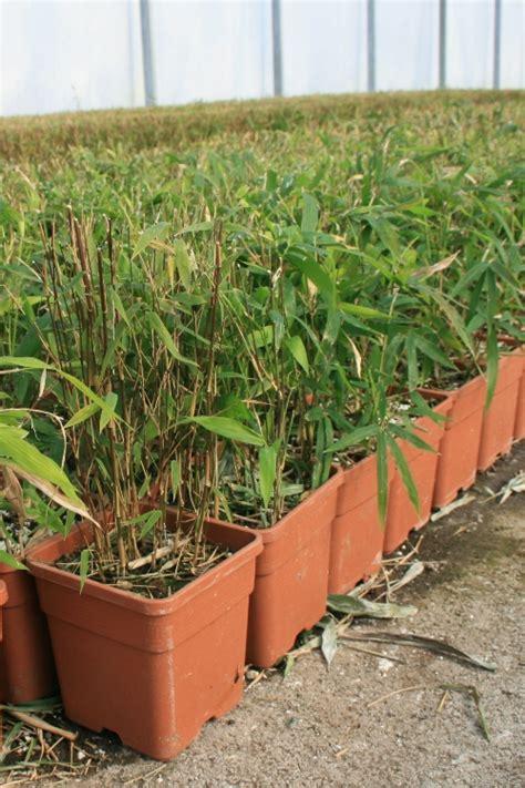 bon plan pour acheter ses bambous