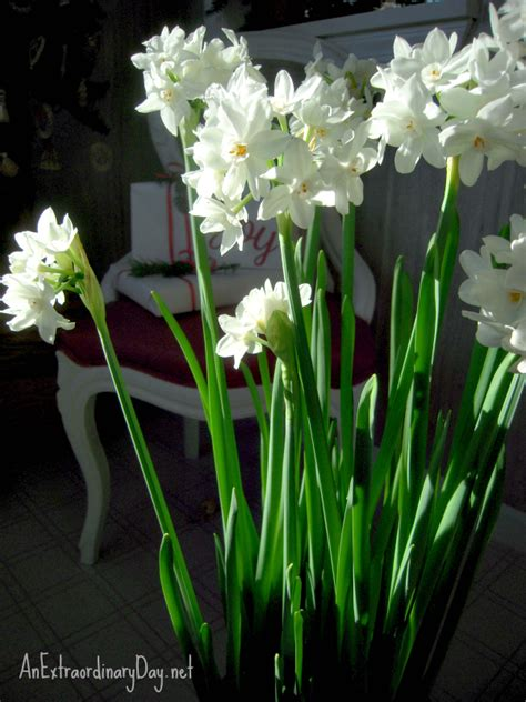 growing paperwhites for the holidays an extraordinary day