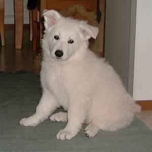White Belgian Shepherd Puppies | www.pixshark.com - Images ...