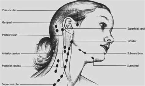 lymph nodes  st john fisher college studyblue