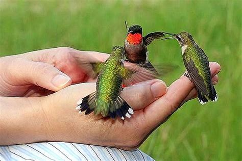 #964 Hummingbirds May Be My Favorite Flying Critter