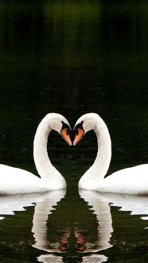 wallpaper swan couple lake cute animals love animals