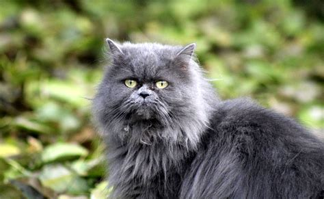 chat persan gris le chat persan caract 232 re 233 ducation sant 233 prix race de chat