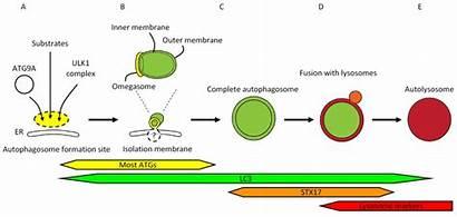 Autophagy Autophagosome Formation Upstream Factors Membrane Outer