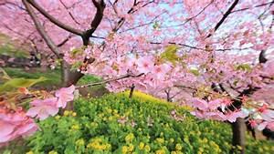 Baum Mit Blüten : baum mit wei en bl ten tapete ~ Frokenaadalensverden.com Haus und Dekorationen