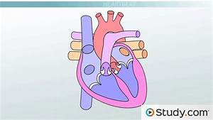 Review Sheet 30 Anatomy Of The Heart Answers  Essay On