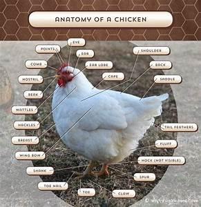 A Chicken Anatomy Lesson