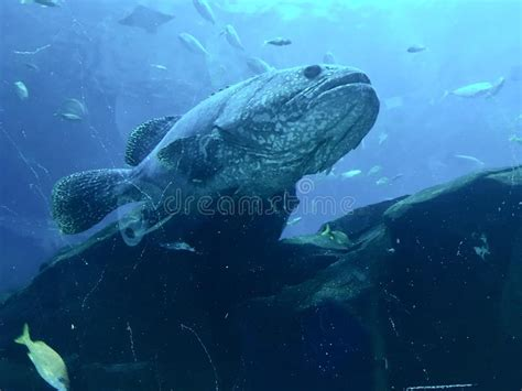 goliath grouper ominous unhappy massive looking