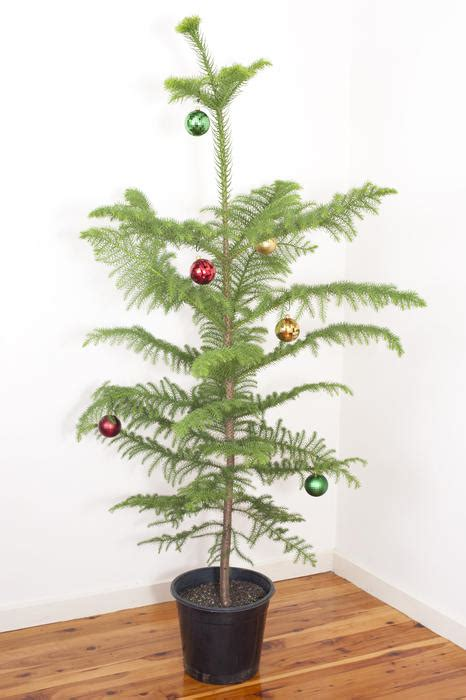 stock photo  potted natural evergreen christmas