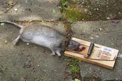 Ratten Im Haus Rattengift 13