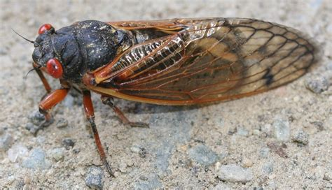cicada central    wanted