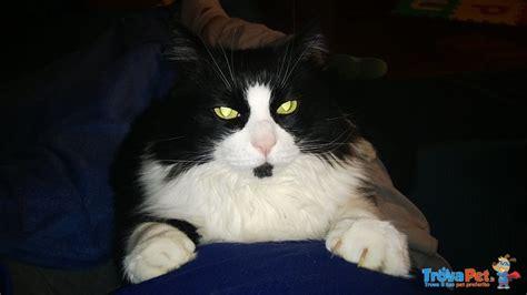 gatto da appartamento razza gatto adulto da appartamento bellissimo e coccolone in