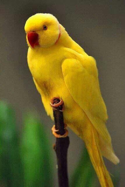 Yellow Indian Ringneck Parakeet