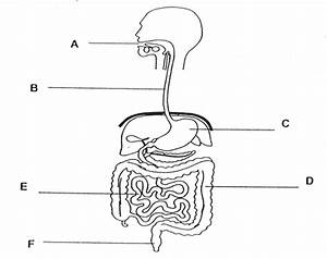 10 Best Images Of Unlabeled Digestive System Diagram